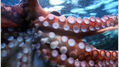 深海に住む「タコ」